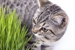 Scottish Fold cat eating fresh green grass growing by oats seed, natural herbal treatment for the health of pet isolated on white. Background stock images