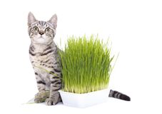 Scottish Fold cat eating fresh green grass growing by oats seed, natural herbal treatment for the health of pet isolated on white. Background royalty free stock photos