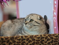Scottish Fold cat. The Scottish Fold cat on the exhibition of domestic animals Stock Photography