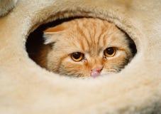 Scottish fold cat eyes. Close-up Stock Images
