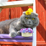 Scottish fold cat and flowers. Scottish fold cat and a bouquet of flowers lilac and blue forget-me-nots, at the head of yellow dandelions, lying on the stairs Stock Photo
