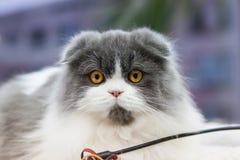 Scottish Fold cat fluffy gray and white. Large, eyes, yellow Stock Image