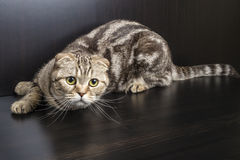 Scottish Fold cat is frightened huddled in a corner Stock Image