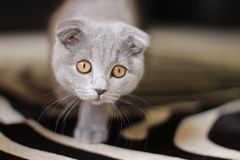 Scottish fold cat. Funny, little cat. Scottish fold royalty free stock image