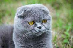 Scottish fold cat. On the grass outdoor Stock Photos