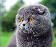Scottish fold cat. On the grass outdoor Stock Photo