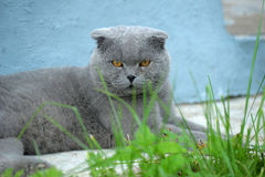 Scottish fold cat gray Stock Photos