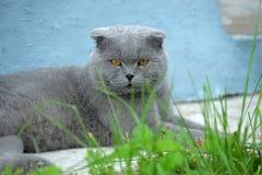 Scottish fold cat gray Stock Photos