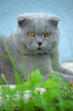 Scottish fold cat gray Royalty Free Stock Photos