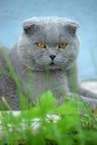 Scottish fold cat gray Royalty Free Stock Photos
