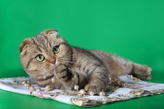 Scottish fold cat with green eyes raised his front paw to his face and stares. Green background Stock Photography