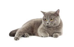 Scottish fold cat grey Royalty Free Stock Images