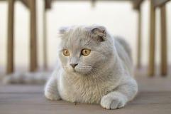 Scottish Fold cat Royalty Free Stock Images