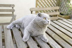 Scottish Fold cat Royalty Free Stock Photography