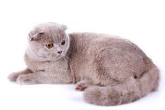 Scottish fold cat grey on white background Stock Photos