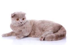 Scottish fold cat grey on white background Royalty Free Stock Images