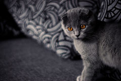 Scottish fold cat. Scottish fold grey cat with yellow eyes Royalty Free Stock Photo