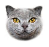 Scottish fold cat. Head Stock Photography