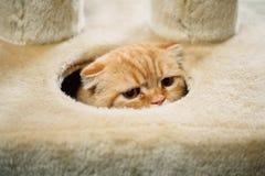 Scottish fold cat hiding. Scottish fold cat portrait detail close-up Royalty Free Stock Photos