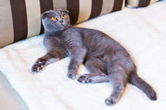 Scottish fold Stock Photos