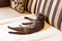 Scottish fold Royalty Free Stock Photography