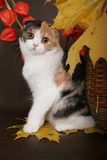 Scottish fold cat with leaves. Scottish fold cat with autumn leaves stock photos