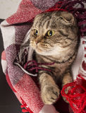 Scottish Fold cat lies under the checkered colored plaid Stock Photography