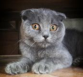 Scottish fold cat. Scottish fold look stock images