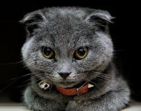 Scottish fold cat. Scottish fold looking royalty free stock photos