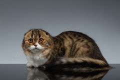 Scottish Fold Cat Looking in Camera and Lies on Gray Stock Images