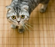 Scottish Fold cat looking up pleasing for food. Scottish Fold cat looking up from below pleasing for food Royalty Free Stock Photography