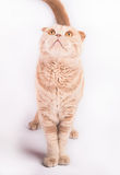 Scottish fold cat looking up waiting for food Royalty Free Stock Images