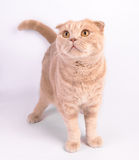 Scottish fold cat looking up on white background Royalty Free Stock Photos