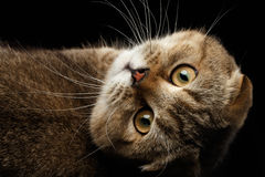 Scottish fold Cat Lying on Back and Looking,  Black Royalty Free Stock Images
