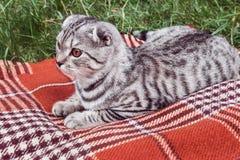 Scottish Fold cat lying Royalty Free Stock Images