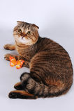Scottish fold cat lying with butterfly Royalty Free Stock Photos