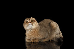 Scottish fold Cat Lying, Curious Looking up  on Black Stock Image