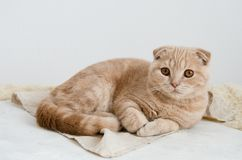 Scottish fold cat lying on light gray background and looking in camera. Copy space stock photography