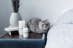Scottish fold cat lying on nightstand with candles and books Royalty Free Stock Images