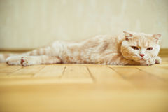 Scottish fold cat lying on the parquet floor. At home Stock Images