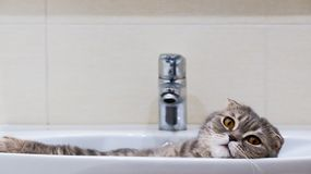 Scottish fold cat lying relaxed in the sink. stock photos
