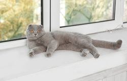 Scottish fold cat lying on sill near. White plastic window Royalty Free Stock Photo