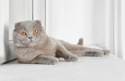 Scottish fold cat lying on sill near white   window. Scottish fold cat lying on sill near white plastic window Stock Photo