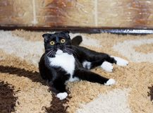 Scottish fold cat lying by the wall. The theme of beautiful cats in the house Stock Photography