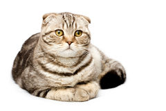 Scottish Fold. Cat lying on a white background Royalty Free Stock Photo