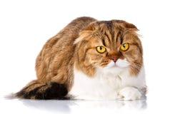 Scottish Fold cat lying on white background Royalty Free Stock Photo