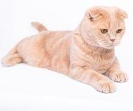 Scottish fold cat lying on the white background Stock Photography