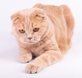 Scottish fold cat lying on white background Stock Photo