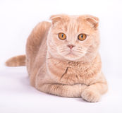 Scottish fold cat lying on the white background Stock Image
