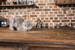 Scottish fold cat lying on wooden tabletop with cat food Royalty Free Stock Images